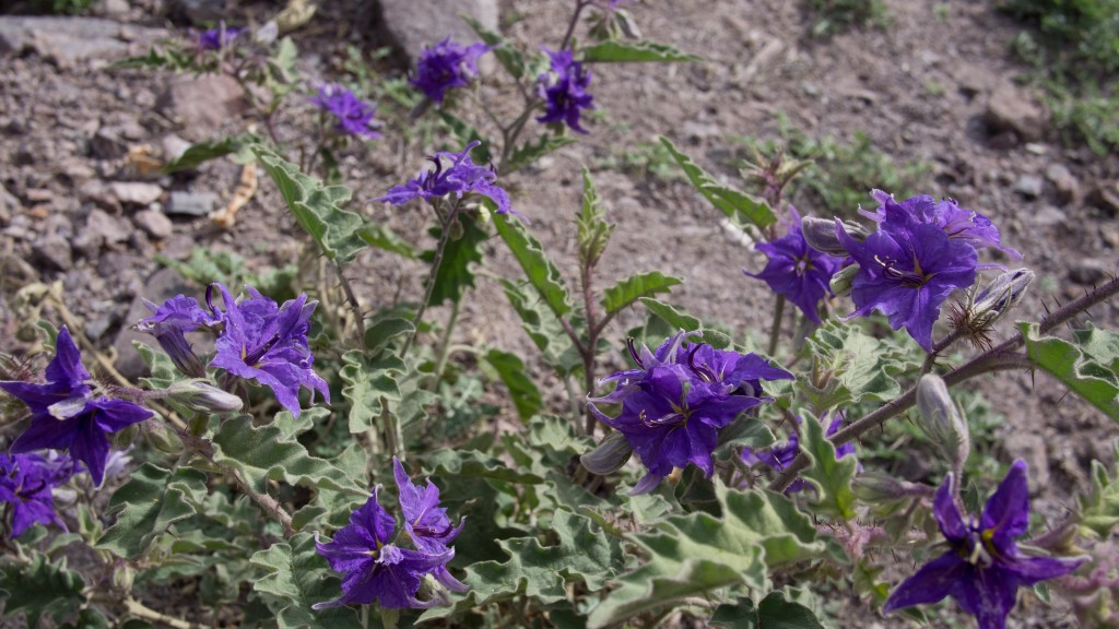 I'd been seeing these purple flowers on the sides of many roads here in Mexico.